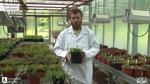 Production of healthy plant materials by shoot tip meristem culture