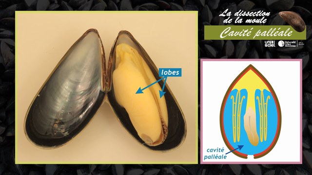 La dissection de la moule